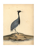 Demoiselle Crane, Anthropoides Virgo Giclee Print by Ann and Emily Hayes