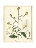Black Mustard, Brassica Nigra Giclee Print by F. Guimpel