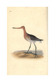 Bar-Tailed Godwit (Female), Limosa Lapponica Giclee Print by Edward Donovan