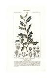 Wild Lime, Zanthoxylum Fagara Giclee Print by Pierre Turpin