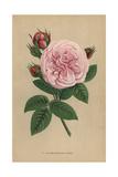 Madame Hippolyte Jamain Rose, Hybrid Rose Giclee Print by Francois Grobon