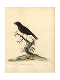 Chestnut-Bellied Seed-Finch, Oryzoborus Angolensis Giclee Print by William Hayes