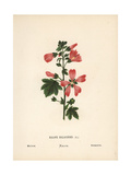 Mallow, Malope Malacoides Giclee Print by Hannah Zeller