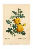 Sulfur Rose, Rosa Hemisphaerica Giclee Print by Pierre-Joseph Redouté