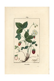 Strawberry, Fragaria Ananassa Giclée-Druck von Ernestine Panckoucke
