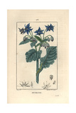 Borage or Starflower, Borago Officinalis Giclee Print by Pierre Turpin
