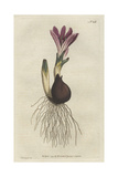 Spring Meadow Saffron, Bulbocodium Vernum Giclee Print by Sydenham Edwards