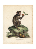 Barbary Macaque, Macaca Sylvanus Giclee Print by C.J.G. Reuss