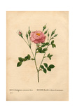 Anemone-Flowered Sweetbriar Rose, Rosa Rubiginosa Variety Giclee Print by Pierre-Joseph Redouté