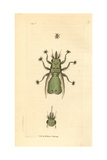 Lousefly, Craeterina Hirundinis, a Parasite of the Swallow Giclee Print by Frederick Nodder