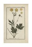 Meadow Buttercup, Ranunculus Acris Giclee Print