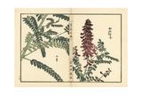 Kouka or Kujin, Sophora Flavescens Giclee Print by Bairei Kono