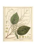 Achiotillo Tree, Alchornea Latifolia Giclee Print by F. Guimpel