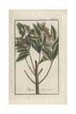 Allspice or Jamaica Pepper, Pimenta Dioica Giclée-Druck