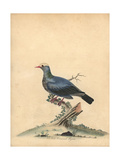 White-Crowned Pigeon, Patagioenas Leucocephala Giclee Print by William Hayes