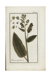 Patience Dock, Rumex Patientia, Native to Europe Giclee Print