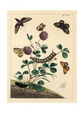 Spurge Hawk-Moth, Grayling, Gatekeeper and Common White Wave Giclee Print by Moses Harris