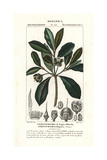 Wintergreen Tree, Ternstroemia Elliptica Giclee Print by Pierre Turpin