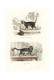 House Cat and Turkish Angora Cat Giclee Print by Edouard Travies