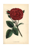 Gloire De Ducher Rose, Hybrid Giclee Print by Francois Grobon