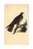 European Honey Buzzard, Pernis Apivorus Giclee Print by Edward Donovan