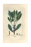 Bayberry or Wax Myrtle, Myrica Cerifera Giclee Print by Pierre Turpin