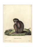 Barbary Macaque, Macaca Sylvanus Giclee Print by H.I. Tyroff