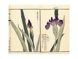 Rabbit-Ear Iris, Iris Laevigata Giclee Print by Bairei Kono