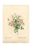 Rouletii Rose, Rosa Chinensis Var Minima Rouletii Giclee Print by Pierre-Joseph Redouté