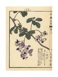 Chocolate Vine, Akebia Quinata Giclee Print by Bairei Kono