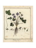 Common Liverwort, Anemone Hepatica Giclee Print by F. Guimpel