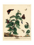 Red Admiral and Small Magpie Moth Giclee Print by Moses Harris