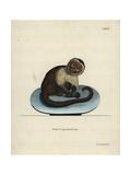 White-Headed Capuchin, Cebus Capucinus Giclee Print by H.I. Tyroff