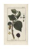 Black Mulberry, Morus Nigra Giclee Print