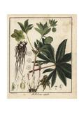 Green Hellebore, Helleborus Viridis Giclee Print by F. Guimpel