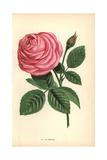 La France Rose, Pink Hybrid Giclee Print by Francois Grobon