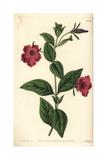 Violet-Flowered Petunia, Petunia Integrifolia Giclee Print by Sarah Drake