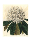 White Tree Rhododendron, Rhododendron Arboreum Var Album Giclee Print by Sarah Drake
