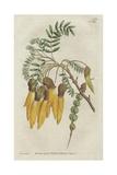 Winged-Podded Sophora or Kowhai, Sophora Tetraptera Giclee Print by Sydenham Edwards