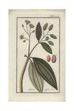 Cassia Tree, Cinnamomum Cassia Giclee Print