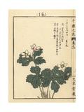 Soft Windflower, Anemone Flaccida Giclee Print by Bairei Kono