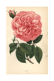 Adam Rose, Variety of the Tea Rose Giclee Print by Francois Grobon