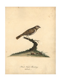 Red-Billed Quelea, Quelea Quelea, Female Giclee Print by William Hayes