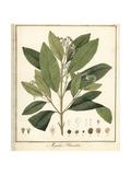 Allspice, Jamaica Pepper or Pimenta, Pimenta Dioica Giclée-Druck von F. Guimpel