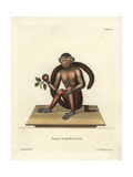 Tufted Capuchin, Cebus Apella Giclee Print by George Edwards