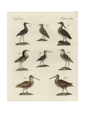 Woodcock, Snipe, Ruff, Lapwing, Sanderling, and Golden Plover Reproduction procédé giclée