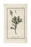 Savin Juniper Tree, Juniperus Sabina Giclee Print
