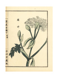 Yoroigusa or Chinese Angelica, Angelica Dahurica Giclee Print by Bairei Kono