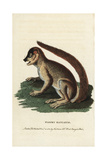 Woolly Lemur or Indri, Lemur Laniger Giclee Print by Pierre Sonnerat