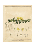 Creeping Jenny, Lysimachia Nummularia Giclee Print by F. Guimpel
